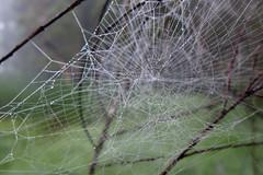 dew web (Gary L Warner) Tags: morning spider bush web arachnid sydney australia structure animalarchitecture