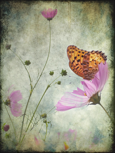 cosmos & butterfly (textured)