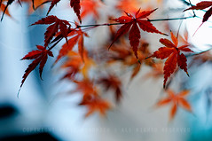 Just when I thought I was done with taking photos of momiji this year..... (Alfie | Japanorama) Tags: blue autumn red brown nature leaves yellow japan asian japanese tokyo maple focus asia bokeh walk momiji acer osanpo local manual neighbourhood nikkor85mmf2ais minamioi