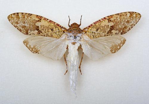 Phenax variegata (Fulgoridae)