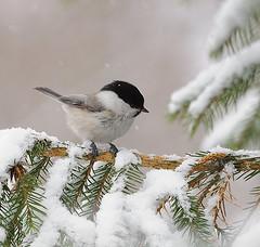 Hömötiainen* (mattisj) Tags: bird explore lintu naturesfinest willowtit parusmontanus hömötiainen flickrdiamond vosplusbellesphotos