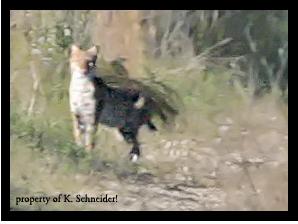 Bobcat 20081229