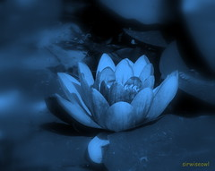 Moonlight Water Lily (by sirwiseowl)