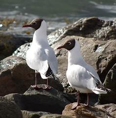 Black-headed Gull, Hettemke (Chroicocephalus ridibundus) (6PPC) Tags: gimp birdwatcher blackheadedgull wildbirds kmount hettemke pentaxk200d chroicocephalusridibundus pentaxda55300mmf458ed