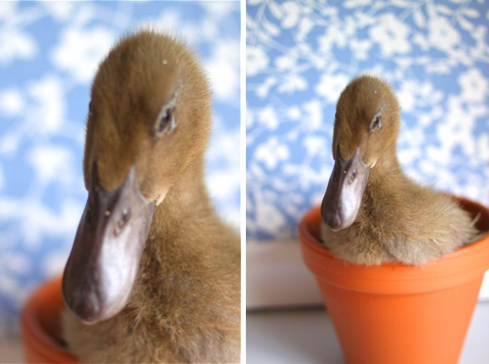 4-27-ducks2