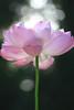 Lotus Flower petals at SunSet - IMG_6075-800 (Bahman Farzad) Tags: sun flower macro yoga set peace lotus relaxing peaceful meditation therapy lotusflower lotuspetal lotuspetals lotusflowerpetals lotusflowerpetal