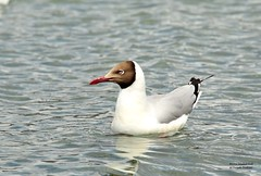 Brown headed Gull (D.N.A.SHINE) Tags: india kashmir ladakh brownheadedgull larusbrunnicephalus kashmirindia deepaknashine