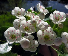 Spring burst (Linda6769) Tags: apple water fruit germany spring village blossom thuringia brook blte apfel blooming obst bloomingtree blhend brden blhenderbaum picturewithmusic