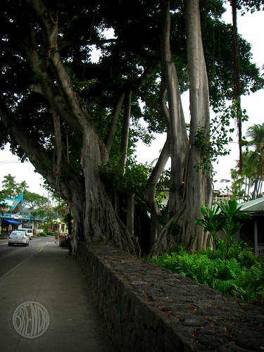 those crazy banyan trees