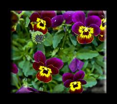 Pansey (sibhusky2) Tags: flowers desertcolors springtime phoenixaz myfrontyard lotsofcolor