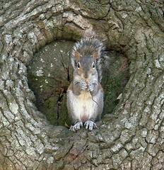 i'm hungry (jungle sheila) Tags: squirrel southcarolina charleston genitalia