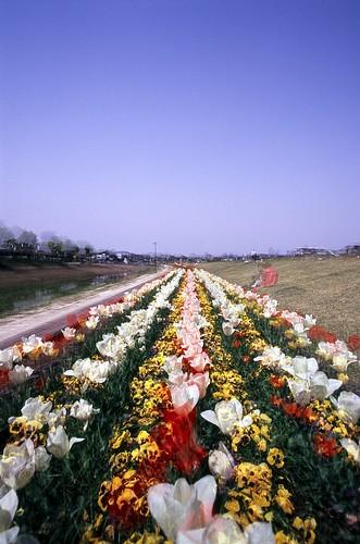 越谷のチューリップ畑 ×3 ^^