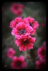 Pink flowers (bonksie61) Tags: pink flowers smörgåsbord naturesfinest digitalcameraclub avision almostanything allin1 peachofashot