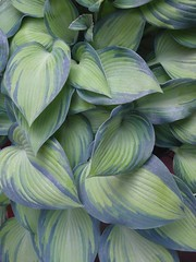 Hosta (maggie_and_her_camera) Tags: 2008 horticulture maggieneely