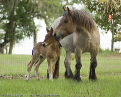 This Is One SPECIAL Filly!  AND...SHE IS COMING TO LIVE WITH US!!! (Dog Is Love) Tags: horse belgium ardennes equine draft drafthorse draught ardennais belgianardennes onephotoweeklycontest goldstaraward cloveroaksfarm