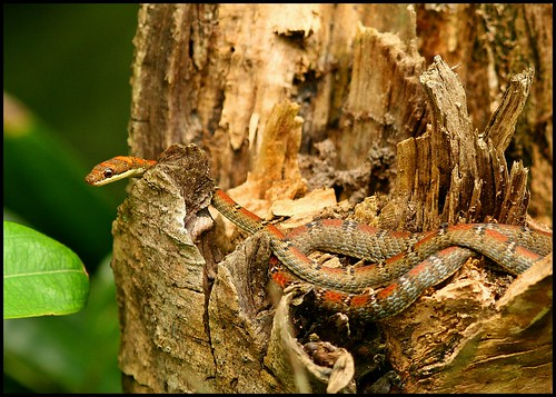 Twin Barred Tree Snake The Lazy Lizard's Tale...