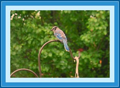""""""" Ha, ha, this lady has a lousey lens !"""" (Lynn English) Tags: home nature good front bluejay takeabow naturesfinest betterthan abigfave crystalaward"""