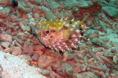 Puffer fish by John & Pam Owens.