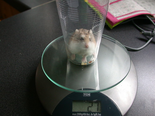 Weight Check (2)! - Tac by roborovski hamsters.