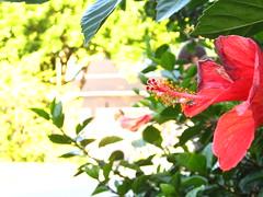 Elirium ,No todos somos perfectos (Nicolacur) Tags: china red en flower macro verde green flor rosa sexo hibiscus delirium tubo roja caliz gineceo corola estigma estambres hibiscum androceo carpelos rosasinesis estaminal elirium monadelfo sinensia receptaculo pedunculo