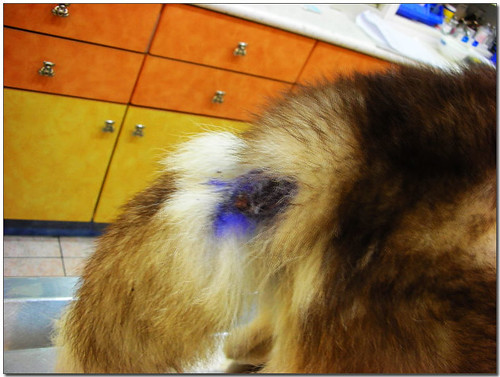 2008-07-28-「援助」台南市落難的哈士奇~我支撐著那虛弱的身體走出來,希望你們看見我....懇請隨手幫忙轉PO~謝謝您!
