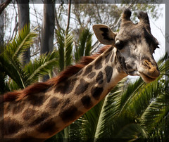 Adult Giraffe (Explored)