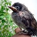 Baby Bird - Red-vented Bulbul