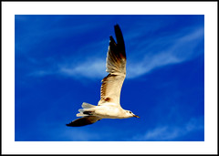 Flight of Fancy - Seagull at Long Beach, NY (DP Photography) Tags: newyork seagull longisland longbeach soe avian flightoffancy seabeach birdphotography flyingbird wingedcreatures supershot specanimal platinumphoto goldstaraward debashispradhan dpphotography dp photography