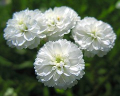 Pearl Yarrow / Achillea ptarmica The Pearl