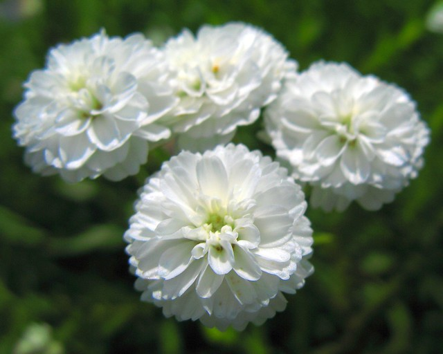 Photo: Achillea ptarmica 'Perry's White'