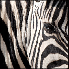 Stripes (It's Stefan) Tags: africa bw eye lines animal linhas square stripes wildlife  safari zebra namibia gomtrie lignes  geometria lneas linien         stefanhoechst stefanhchst stefanhoechst