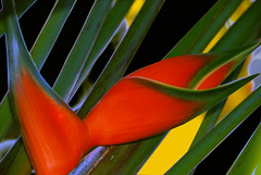 Tropical (itala2007) Tags: flores flower nature closeup 200 tropical inspire bestofthebest gbr firstquality justonelook photographia mywinners platinumphoto anawesomeshot colorphotoaward visiongroup amazingshots citrit goldsealofquality goldstaraward itala2007 multimegashot vision100 oraclex justproject thelightpainterssociety kornrawieegallery lesamisdupetitprince