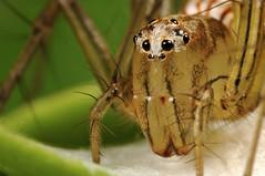 Lynx Spider (Dwi Janto Johan) Tags: macro hongkong spider nikon d70s sb600 micro lynx lantauisland reversedlens tungchung sb24 br2a classarachnidaarachnids orderaraneaespiders kenkoexttube36mm subphylumchelicerata suborderopisthothelae canonfd24mm128ssc phylumarthropodaarthropods notaxonentelegynes infraorderaraneomorphaetruespiders genusoxyopes familyoxyopidaelynxspiders speciessalticusstripedlynx stepdownring5552