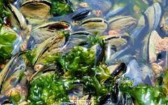 MEJILLONES (QUELCERO) Tags: naturaleza flores insectos plantas peces animales anfibios crustaceos