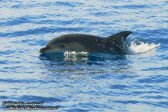 Bottlenose Dolphin - Tursiops truncatus (puffinbytes) Tags: espaa animals spain dolphins mammals canaryislands animalia mammalia islascanarias lagomera bottlenosedolphin tursiopstruncatus tursiops whalesanddolphins cetacea chordates chordata delphinidae taxonomy:kingdom=animalia taxonomy:class=mammalia taxonomy:phylum=chordata taxonomy:order=cetacea taxonomy:binomial=tursiopstruncatus spb:country=es spb:lid=009d spb:pty=w lagomerasouthcoast spb:id=0019 spb:species=tursiopstruncatus taxonomy:family=delphinidae taxonomy:genus=tursiops taxonomy:species=truncatus taxonomy:common=bottlenosedolphin spb:pid=06wu