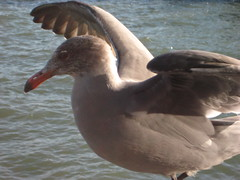 Grey Gull IMG_1710.JPG Photo