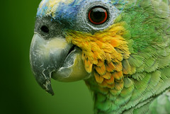 Amazon Parrot (Loro Amazónico)- Left Side (CAUT) Tags: macro green bird southamerica yellow catchycolors amazon nikon colombia catchycolours south sigma parrot american ave kolumbien loro papagaio naturelovers amazonparrot suramérica südamerika nikond60 sulamericana sigmaaf70300mmf456apodgmacro flauntingit loroamazónico birdsphotos macrophotosnolimits theperfectphotographer sigmaaf70300mmf456apodgmacrolens