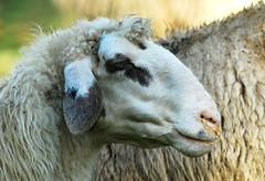 pecora mocciolosa (fabiofotografie) Tags: lana autunno montagna pecore pecora parconazionale ovino montisibillini ovini fabiofotografie fabiopierboni
