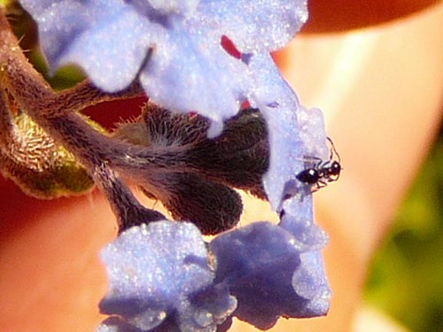 ant on forget me nots