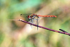 libellula rossa - red dragonfly (luporosso) Tags: naturaleza nature animals insect dragonfly natura bugs bud animali insetti bugz libellula naturalmente naturewatcher excapturemacro