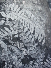 St. Clair Plant, Leaf, Fossil Leaves (FernFossils.com) Tags: plants digging paleontology collection minerals geology ferns coal paleo collecting fossils mineralization carboniferous anthracite pennsylvanian paleobotany palaeobotany pyrophyllite
