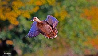 Flight  in the Fall_0469.jpg