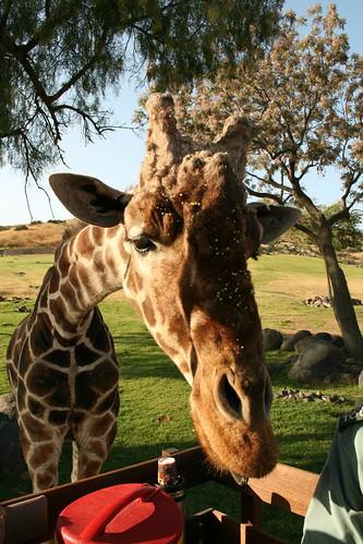 IvantheGiraffe