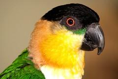 Clyde (moelynphotos) Tags: wild bird nature animal feathers parrot featheredfriends melanocephala pionites moelynphotos planetearthanimalsbirds rainbowelite
