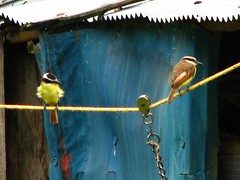 Birds on a wire (Sparky the Neon Cat) Tags: bird southamerica birds animal animals yellow america san colombia south el maco agustin huila finca sanagustin fincaelmaco