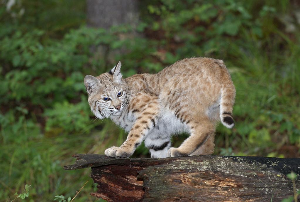 Adolescent Bobcat (lynx rufus).