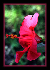 ~~~Full Bloom Scarlet Hibiscus~~~ (~~~Gasssman~~~) Tags: fab 1001nights soe excellence tistheseason iloveit naturesfinest beautysecret topshots bej fantasticflower mywinners abigfave platinumphoto ultimateshot ultimateshots citrit theunforgettablepictures eliteimages goldstaraward flowersmacroworld natureselegantshots rubyphotographer mimamorflowers flickrbestpics fabulousflicks awesomeblossoms tuttiflores flickrflorescloseupmacros cffaa thecelebrationoflife flickrsmasterpieces