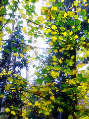 Leaves (Stella VM) Tags: blue autumn trees mountain color colour tree nature beautiful beauty leaves yellow sofia bulgaria wonderland   bulgarian vitosha boyana    anawesomeshot overtheexcellence goldstaraward rubyphotographer