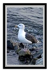 great black-backed gull (davejv) Tags: birds lasalle parcdesrapides gullsmowen