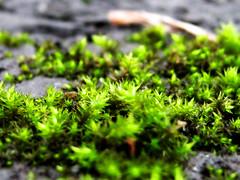 Verdant (curious_spider) Tags: life plant macro living moss slick flora parkinglot ground fungus verdant asphalt greenishyellow whereinidescribeafakeacidtrip